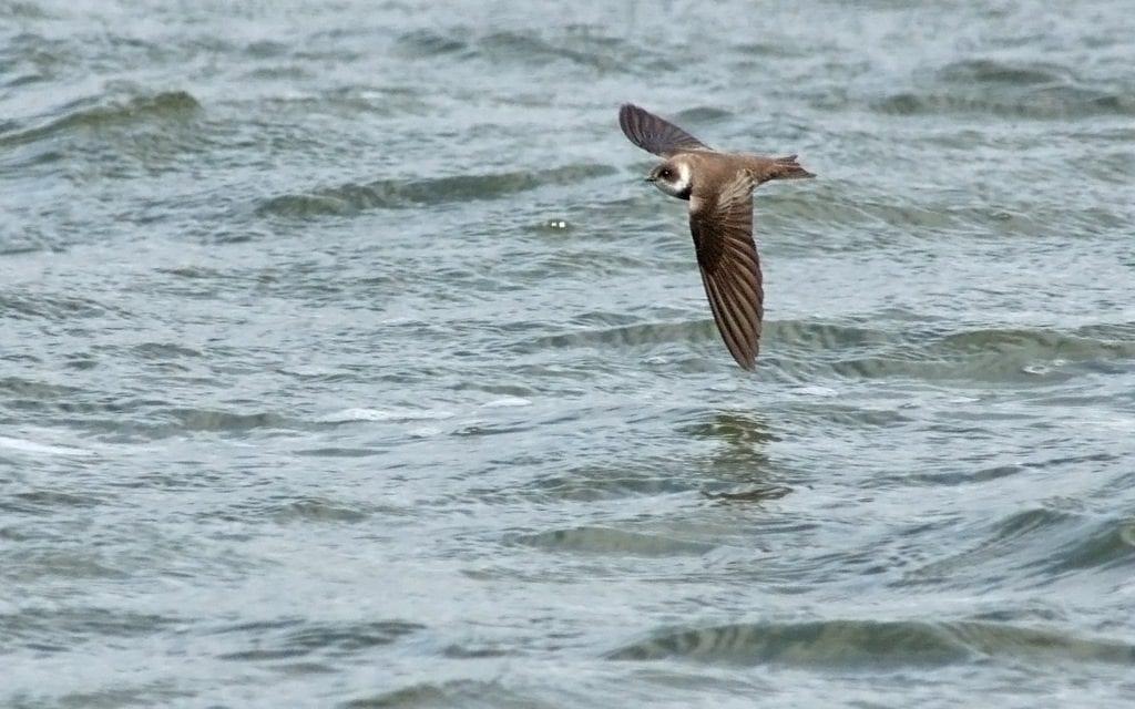 Sand Martin in flight. Photo by Fylde Coast Wildlife