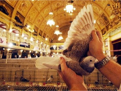 Pigeon Show
