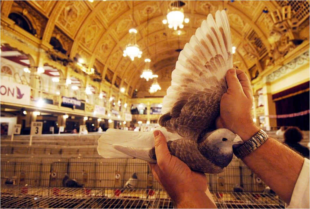 Pigeon Show Live Blackpool