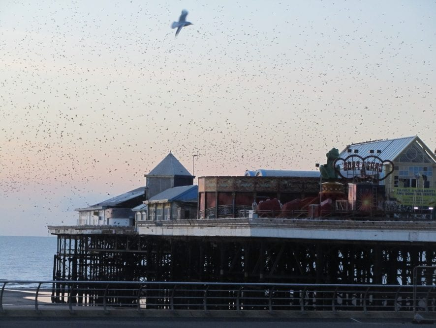Starlings on Blackpool Piers
