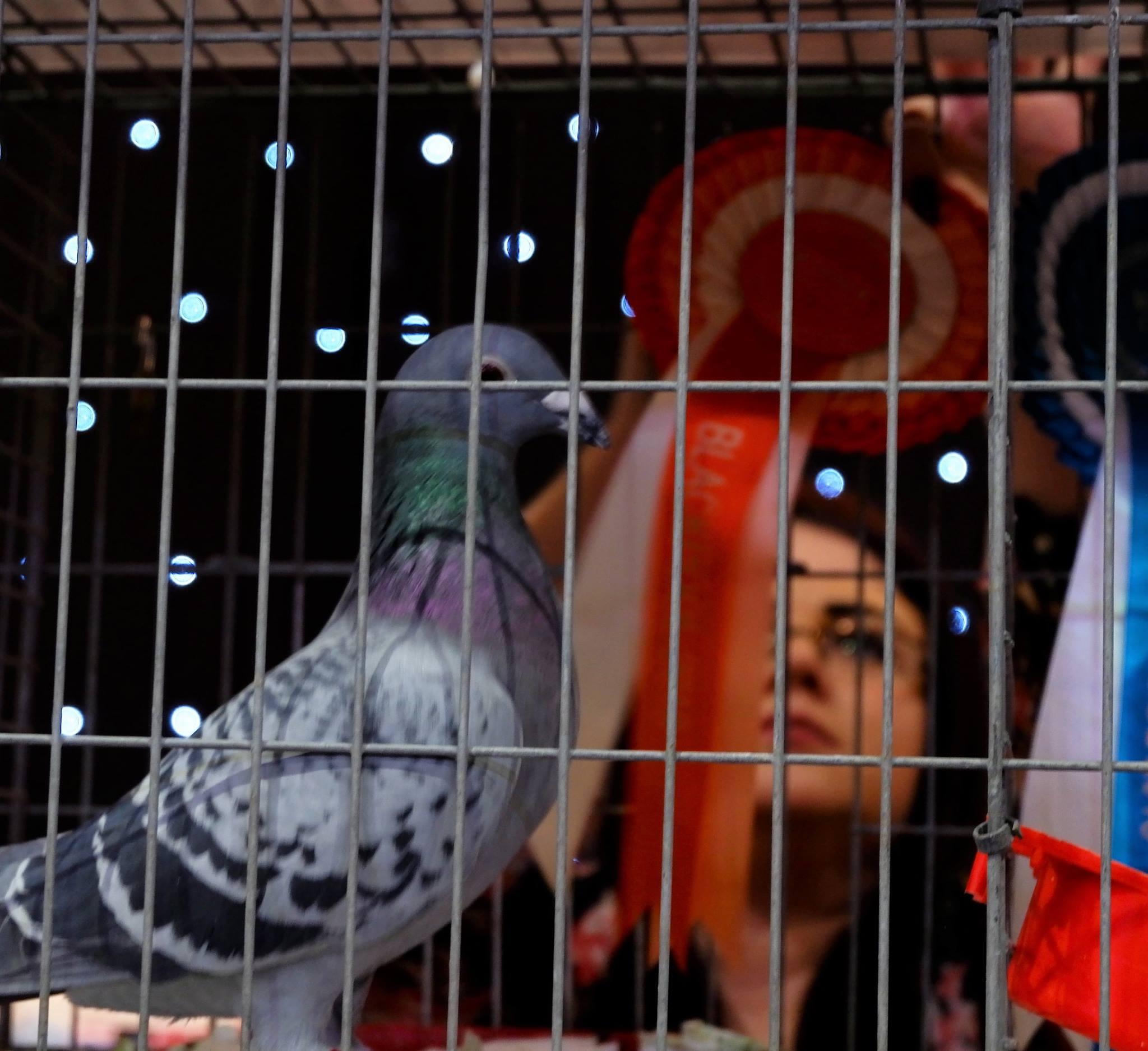 Pigeon Show - Live Blackpool